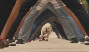 Otto the Bulldog wins a Guinness World Record!  But even Otto isn't getting through Bama's defense. Roll Tide!