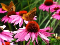 Purple coneflowers are an excellent native plant. These hardy, perennial, flowering plants will attract bees and butterflies to your garden.